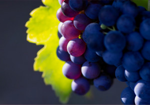 viticulture_grapes