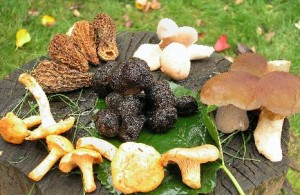 edible _Wild_Mushrooms
